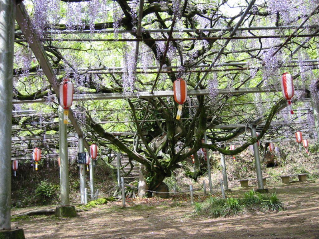 山口県下一の大藤棚「長正司公園」