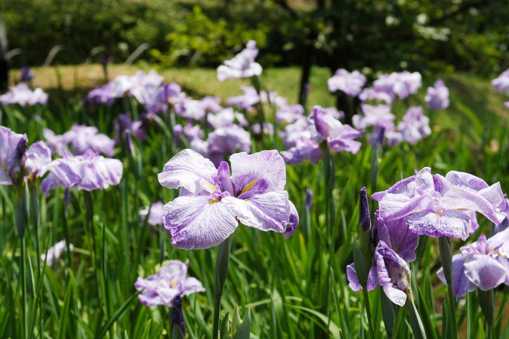 【花めぐり】艶やかな菖蒲が映える長府庭園