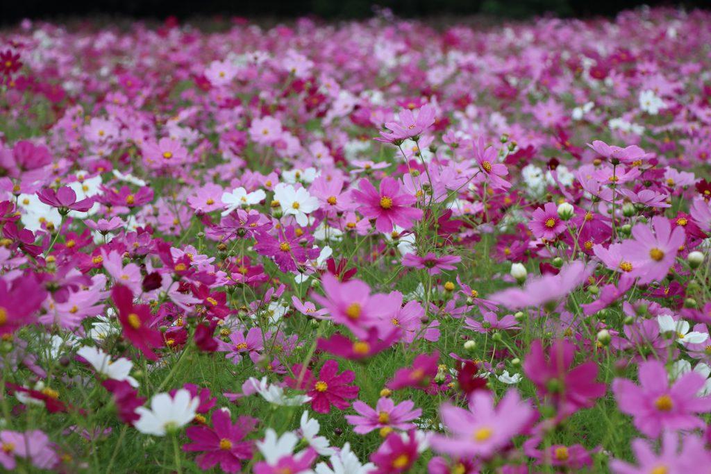 【花めぐり】ピンクの絨毯に圧巻!「豊浦…