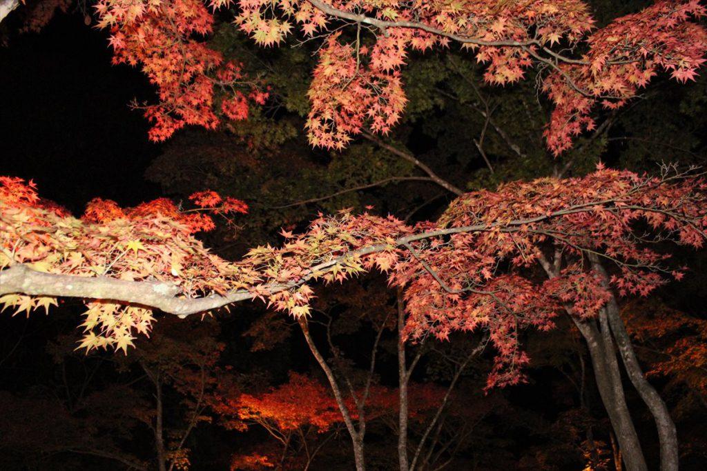 夜に映える紅葉