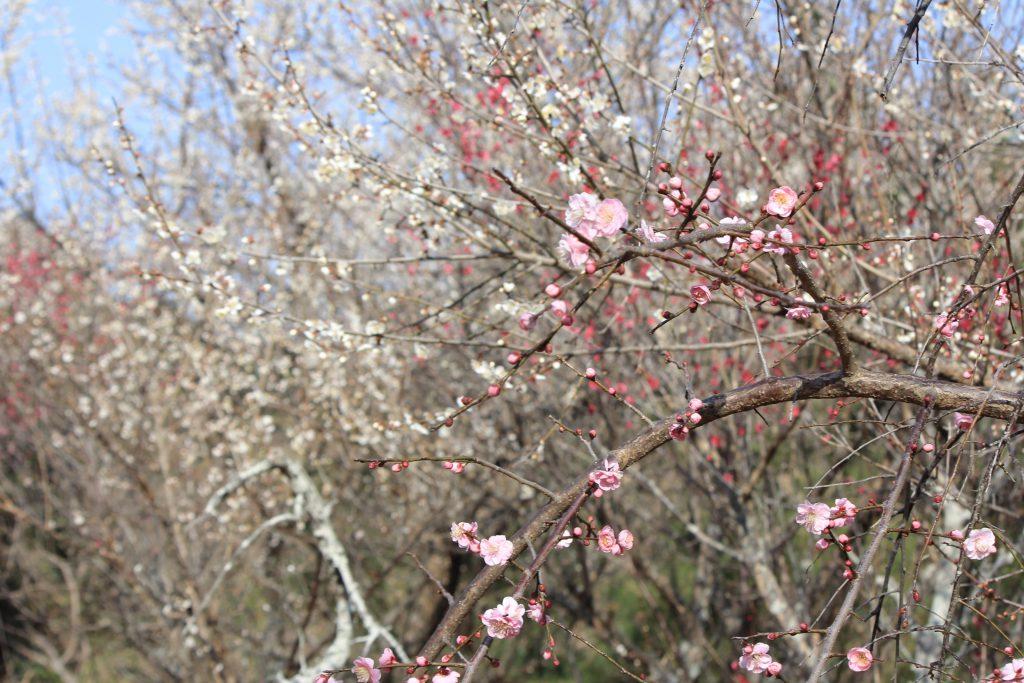 早春の訪れを告げる1,000本の梅