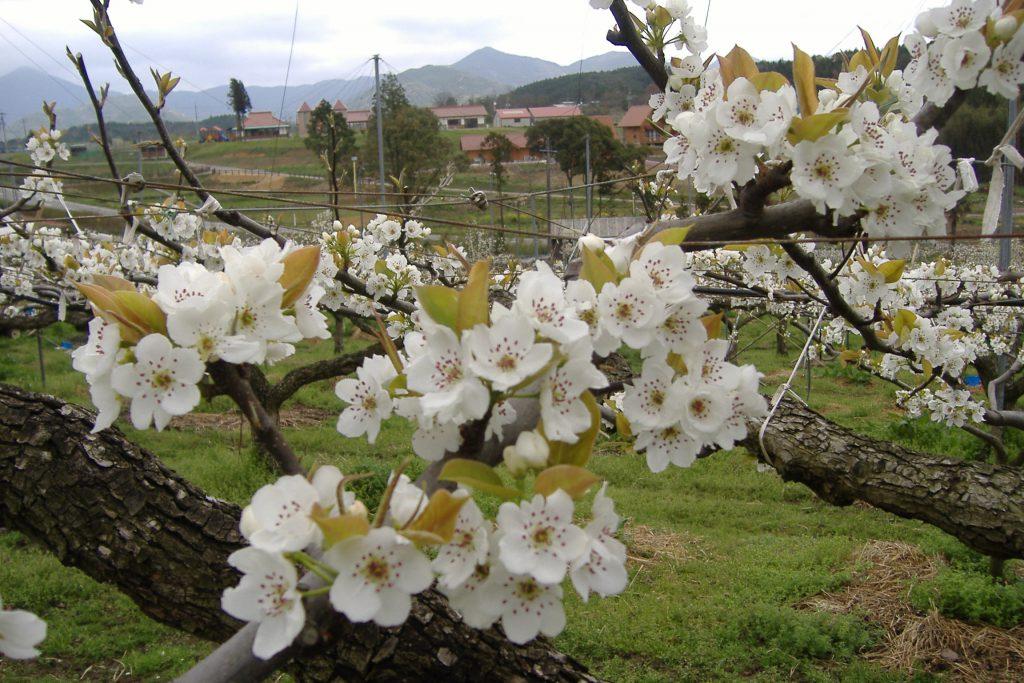 「みのりの丘」で可憐な梨の花