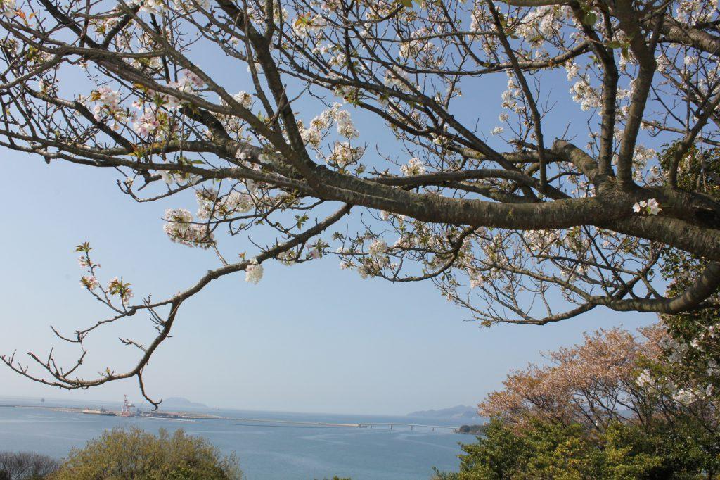響灘と桜が織りなす美景